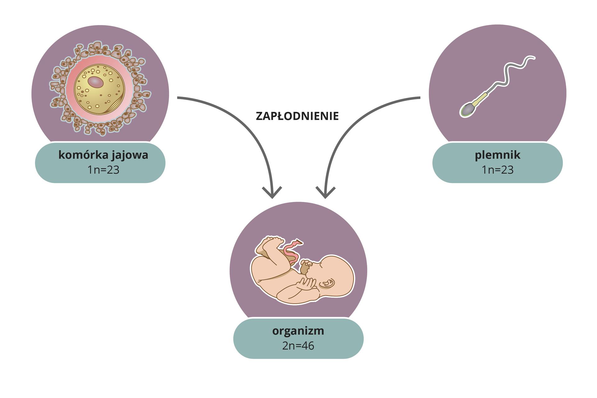 Ilustracja przestawia trzy liliowe koła zrysunkami wśrodku. Zlewej okrągła komórka jajowa ipodpis 1n=23. Zprawej wydłużony plemnik ipodpis 1n=23. To liczba chromosomów wgametach. Od nich strzałki wdół znapisem zapłodnienie. Poniżej rysunek dziecka ipodpis 2n=46. To liczba chromosomów worganizmie potomnym, powstałym zpołączenia gamet.