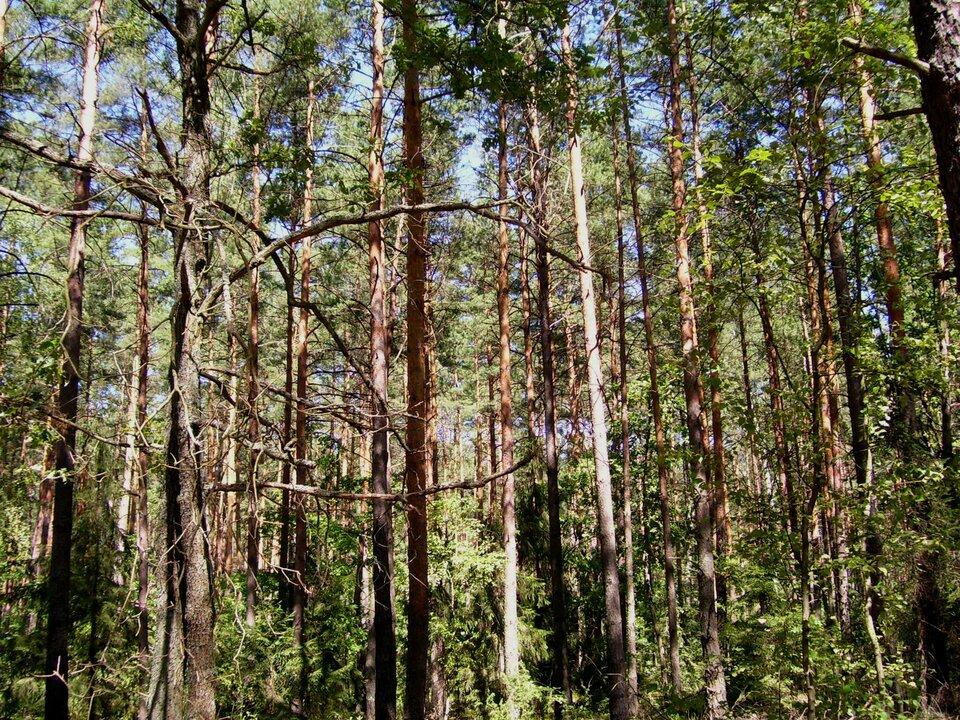 Na zdjęciu las mieszany. Wysokie drzewa iglaste, niższe drzewa liściaste. Wśród koron drzew widoczne niebo.