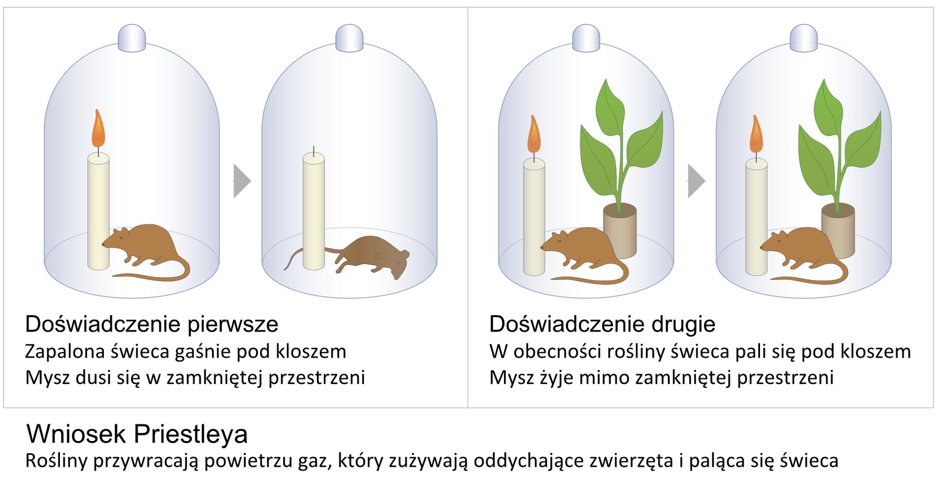 Ilustracja przedstawia eksperyment, wykonany przez uczonego onazwisku Priestley. Wdwóch polach znajdują się cztery słoje. Po lewej wpierwszym słoju znajduje się zapalona świeczka istojąca mysz. Strzałka prowadzi do ilustracji tego samego słoja, ale po jakimś czasie. Świeczka wnim się nie pali, amysz leży. Po prawej wpierwszym słoju znajduje się zapalona świeczka, stojąca mysz izielona roślina doniczkowa. Strzałka wskazuje ten sam słój po jakimś czasie. Nic się wnim nie zmieniło. Pod ilustracją wypisano wniosek Priestleya: rośliny przywracają powietrzu gaz, który zużywają oddychające zwierzęta ipaląca się świeczka.