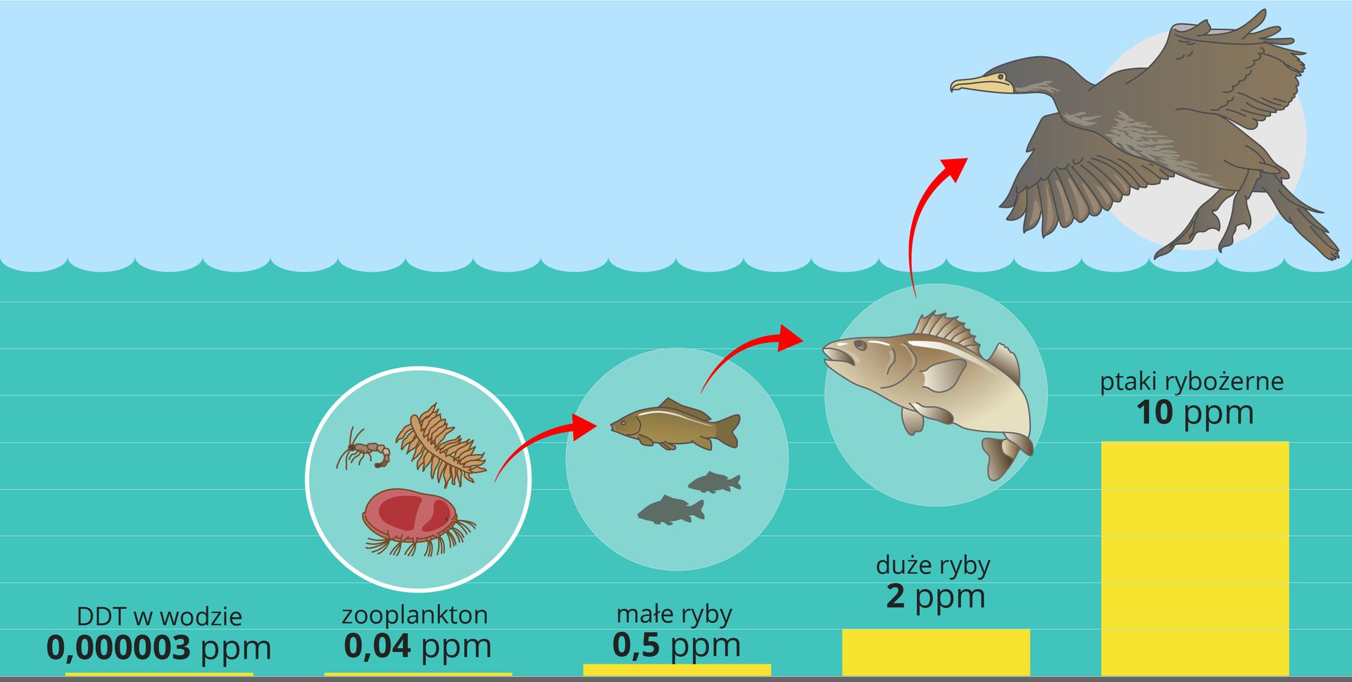 Ilustracja przedstawia schematycznie błękitną sfalowaną wodę ijaśniejsze niebo nad nią. Wwodzie inad nią znajdują się koła zwizerunkami zwierząt, połączone strzałkami. Czerwone strzałki wskazują przenoszenie DDT na kolejne poziomy troficzne. Poziom trucizny oznaczono kolorem żółtym udołu ipodpisano.