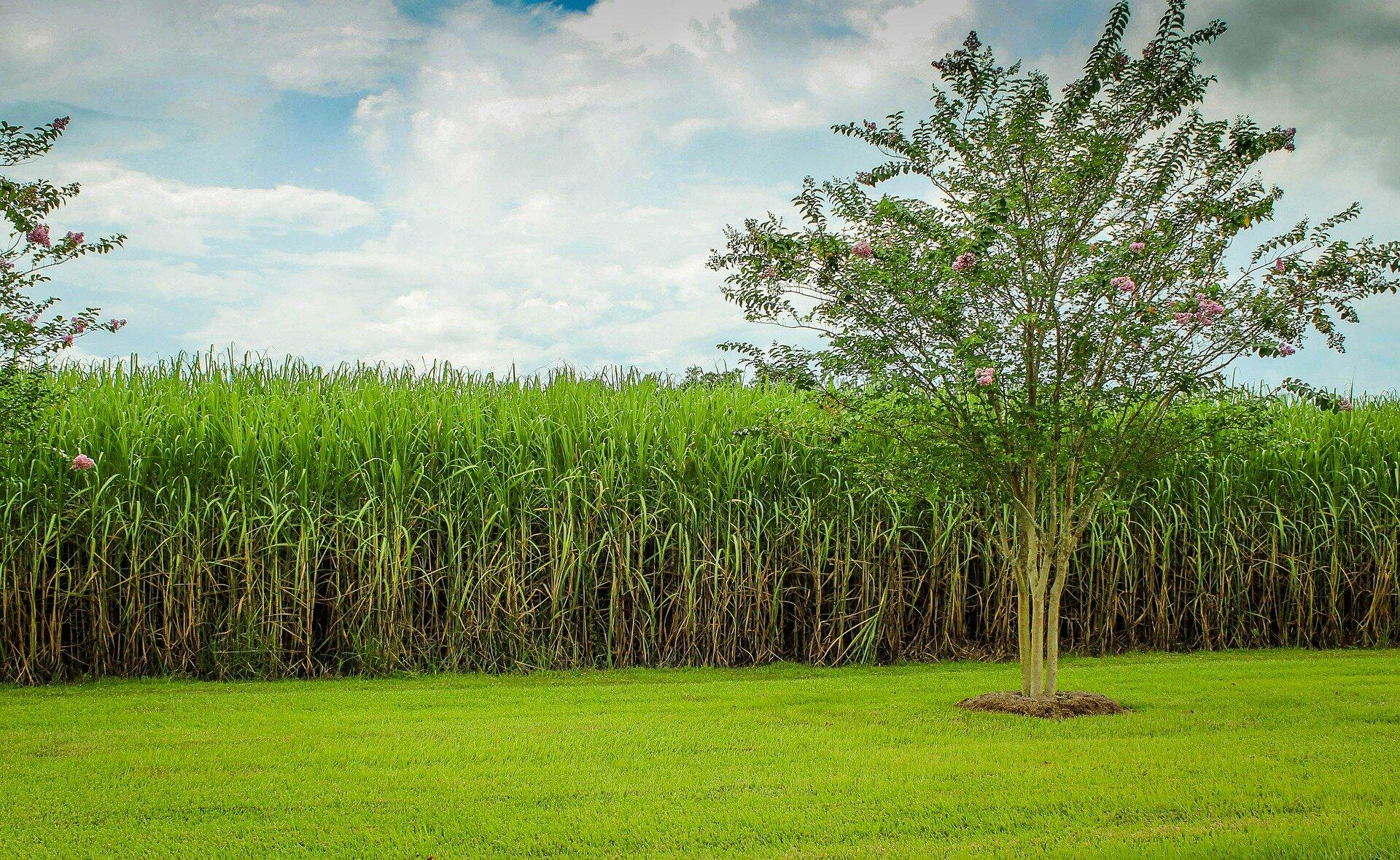 na zdjęciu widać rosnąca trzcinę cukrową