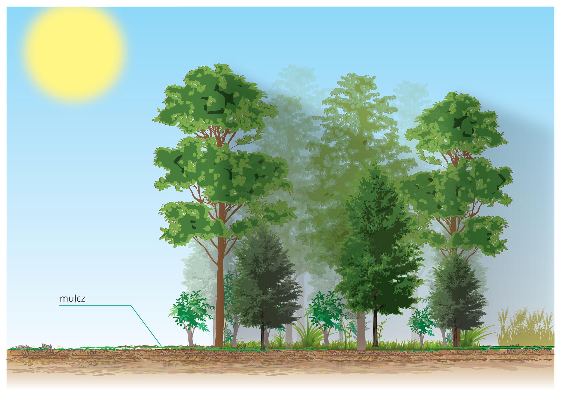 Na ilustracji las mieszany, różnej wielości drzewa, krzewy idrobne rośliny. Kreską zaznaczony ipodpisany mulcz. Na niebie ostre słońce.