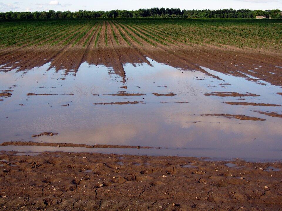Fotografia prezentuje zasiane pole uprawne częściowo zalane wodą.