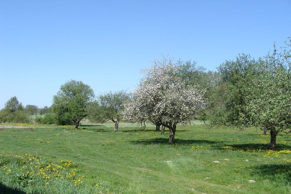 Na zdjęciu kwitnące drzewa owocowe.