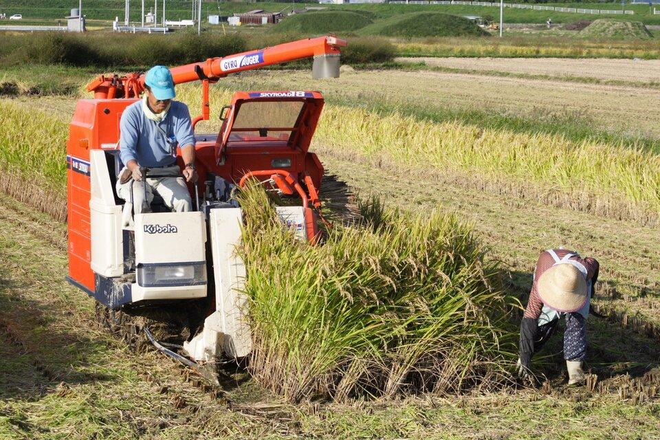 Pole ryżowe. Na zdjęciu mechaniczny zbiór ryżu przy pomocy małego kombajnu.
