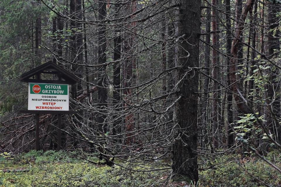 Fotografia przedstawia wnętrze lasu mieszanego. Na pierwszym planie uschnięte drzewo. Wrunie niskie rośliny. Zlewej stoi tablica znapisem: ostoja grzybów. Obok znak stop oraz informacja ozakazie wstępu.