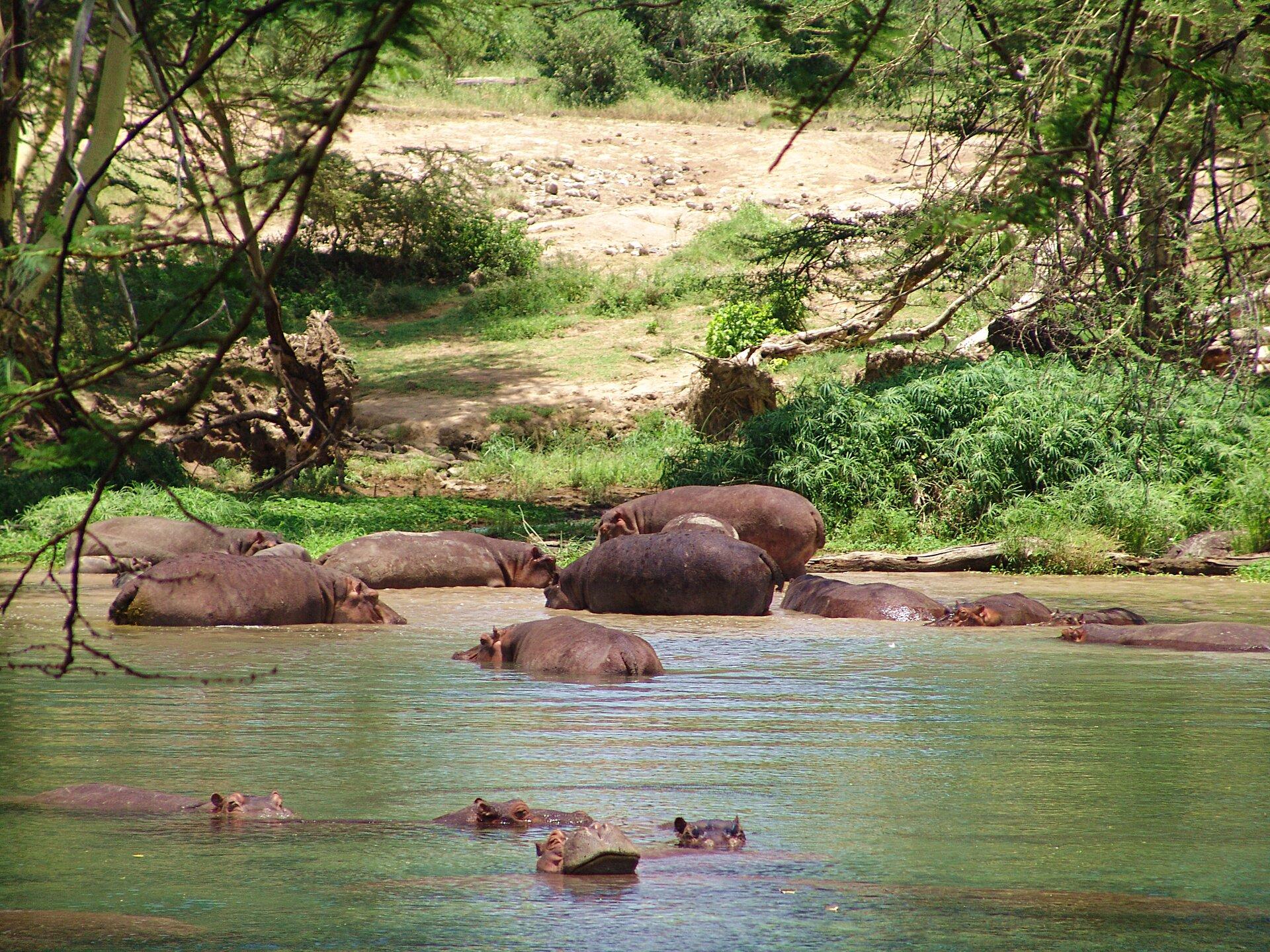 Fotografia przedstawia stadko hipopotamów wrzece. Część zwierząt leży zanurzona wwodzie, trzymając ponad powierzchnią oczy, nozdrza iuszy. Te bliżej brzegu są wynurzone do połowy. Mają podłużne, klocowate ciała na krótkich nogach. Na brzegu znajduje się wydeptana przez nie ścieżka między gęstymi roślinami ikilkoma drzewami ze zwisającymi gałęziami. Wyżej piaszczysta łacha.