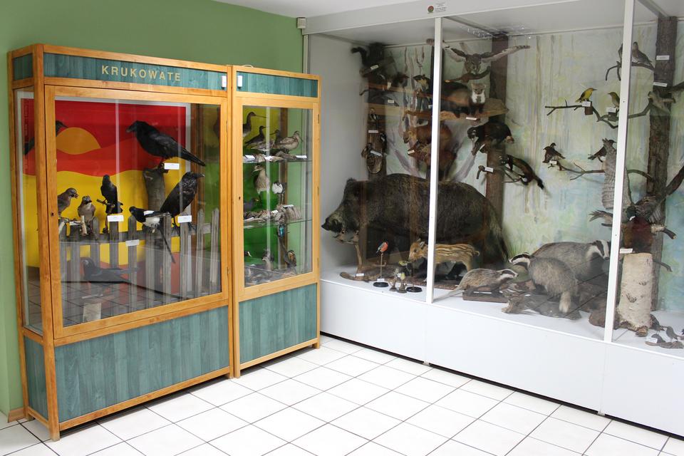 Fotografia przedstawia wnętrze muzeum przyrodniczego wWielkopolskim Parku Narodowym. WSali stoją dwie gabloty zwypchanymi okazami ptaków issaków.