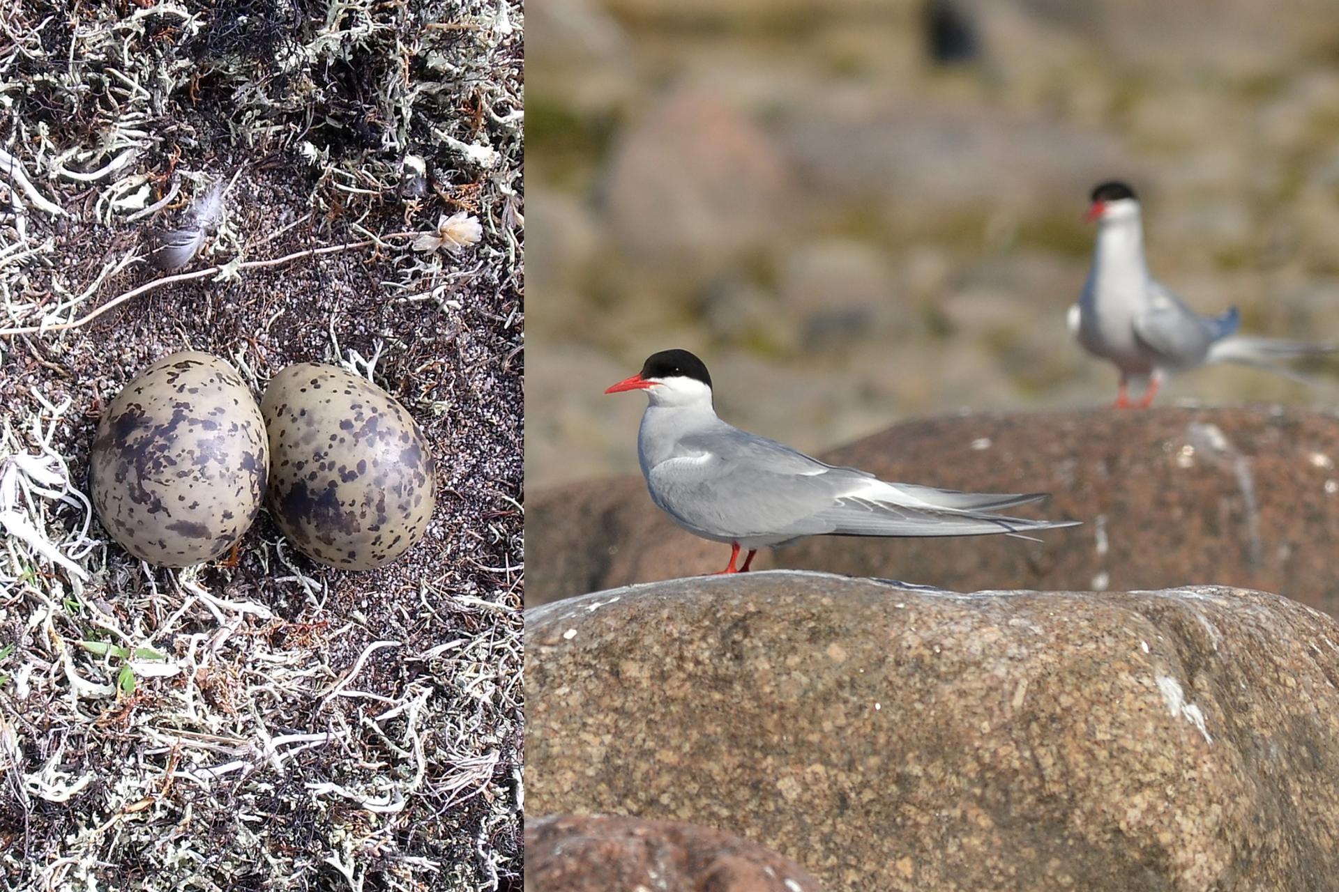 Dwie fotografie. Po lewej stronie fragment gniazda rybitwy popielatej zdwoma szarymi nakrapianymi jajami. Obok zdjęcie dwóch rybitw popielatych stojących na kamieniach. Każda ma czerwony dziób inogi.