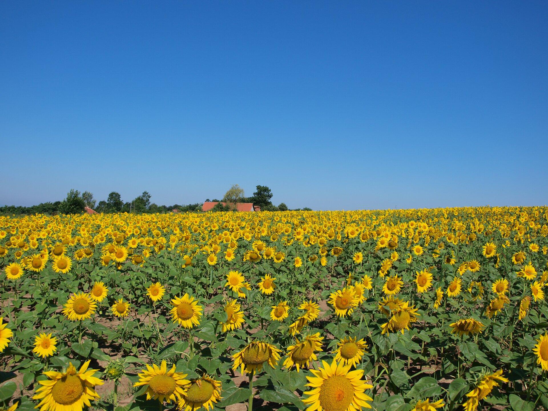 Fotografia przedstawia pole kwitnących żółto słoneczników wpełnym słońcu. Woddali widać czerwony dach domu idrzewa obok niego. Słoneczniki to rośliny światłolubne.