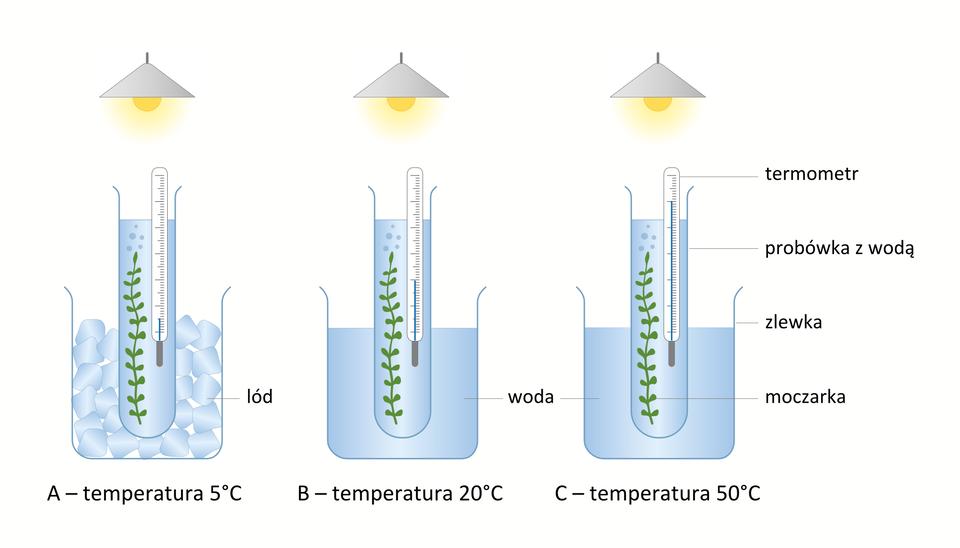Ilustracja przedstawia 3 zestawy doświadczlne. Każdy składa się ze zlewki, wktórej tkwi probówka wypełniona wodą zmoczarką, obok probówki jest termometr. Pierwszy zestaw jest wtemperaturze 5 st. Celsjusza, drugi - 20, trzeci 50.