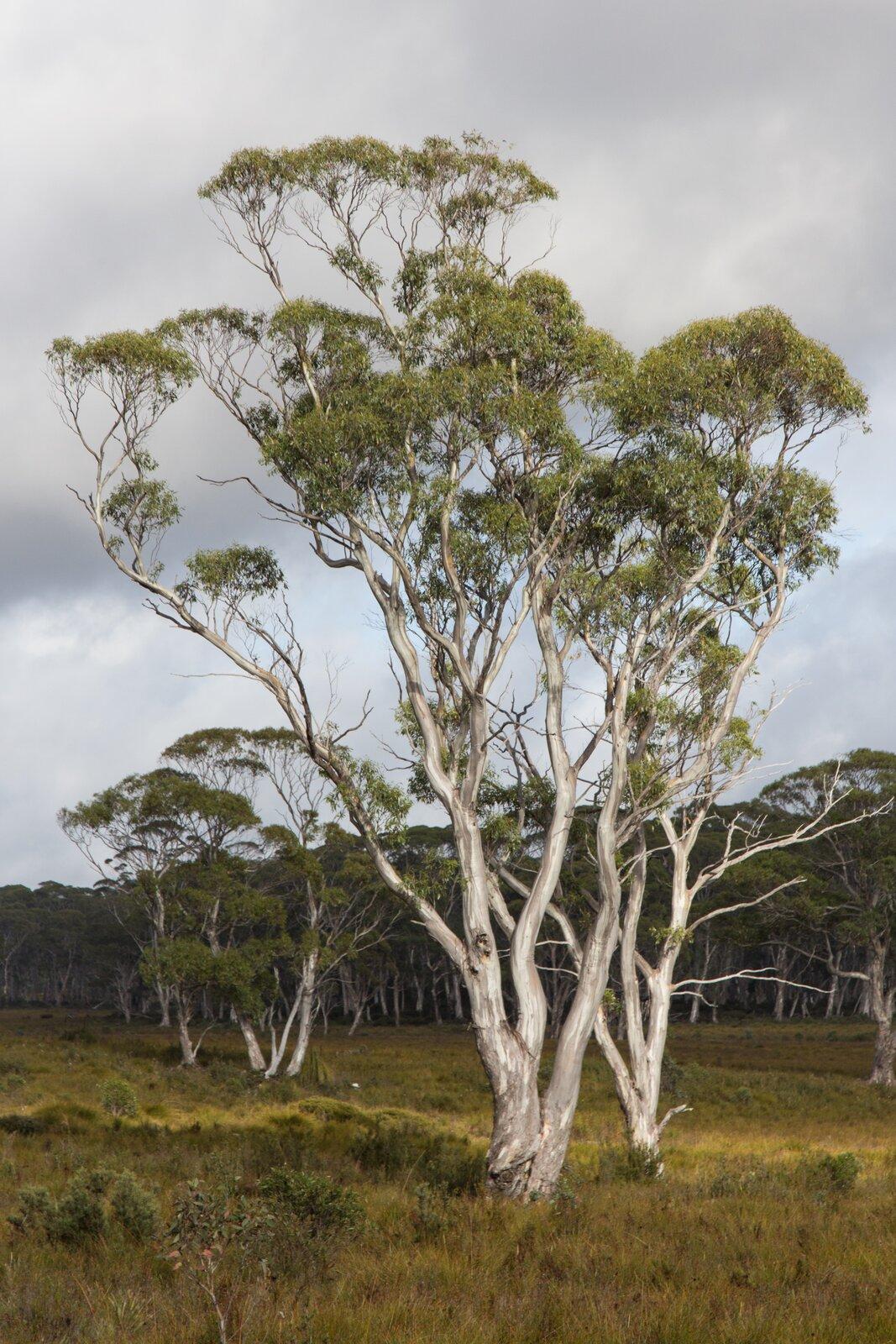 Fotografia przedstawia pojedyncze drzewo eukaliptusa. Ma jasnoszary pień iwzniesione gałęzie. Na ich końcach rosną kępy ciemnozielonych liści. Wokół niskie zarośla zjasnozielonymi liśćmi iniewielkie kępy trawy.