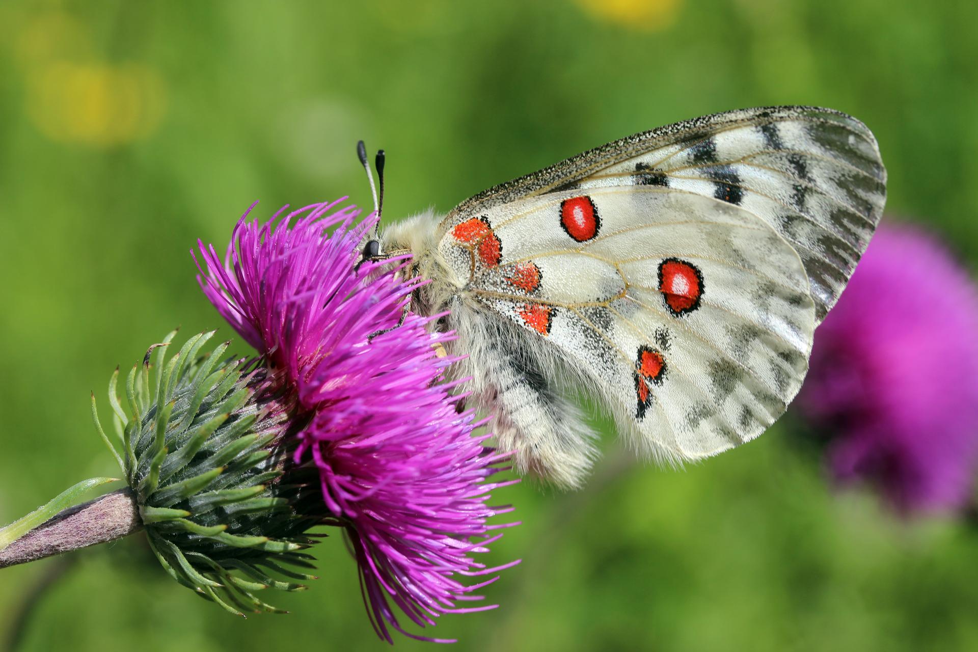 Fotografia prezentuje motyla niepylaka Apollo siedzącego na fioletowym kwiecie.