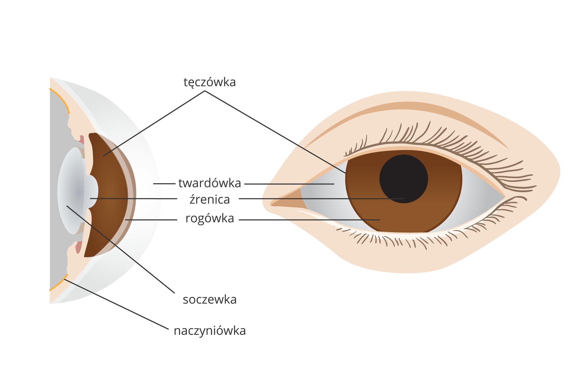 Ilustracja składa się zdwóch rysunków przedniej części oka. Zlewej przekrój pionowy, zprawej widok zprzodu. Te same części przedstawione tym samym kolorem.