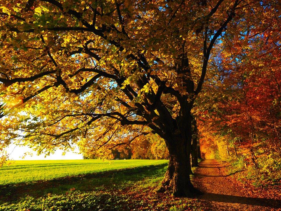 Fotografia przedstawia słoneczny, jesienny krajobraz - drzewa pokryte czerwonymi, złotymi ibrązowymi liśćmi.