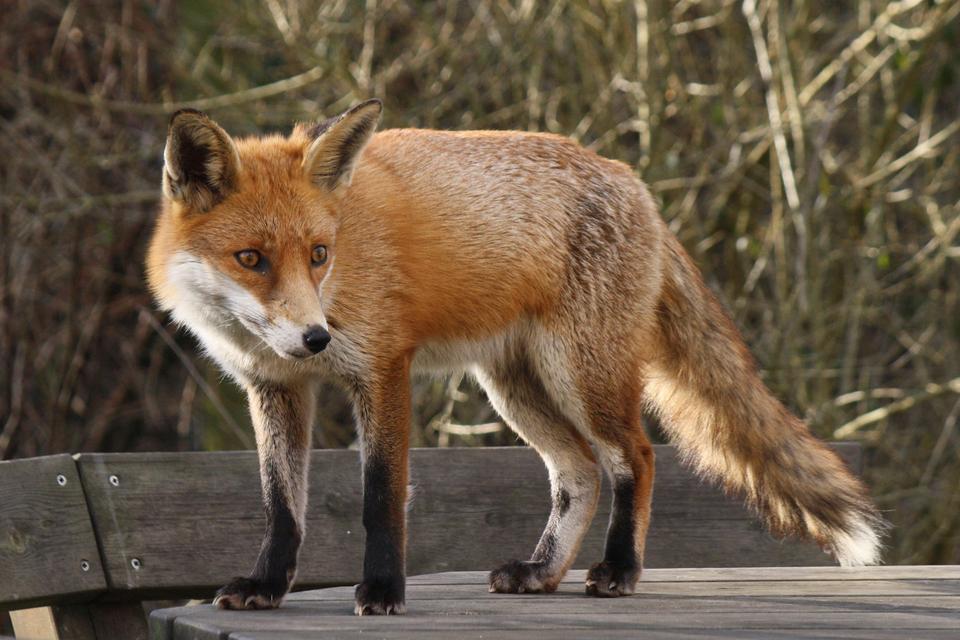 Fotografia przedstawia lisa. Zwierzęta te często chorują na wściekliznę imimo, że chorujące lisy bywają bardzo spokojne, to wkażdej chwili mogą nas zaatakować iugryźć, co grozi zarażeniem.