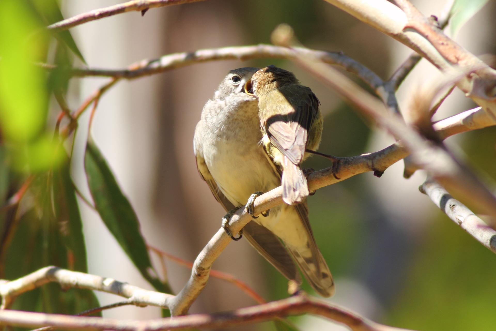 Fotografia przedstawia dwa ptaki, siedzące na beżowych gałęziach. Zprzodu mały, tyłem, szarobrązowy. Wkłada coś do otwartego, żółto obrzeżonego dzioba drugiego ptaka. To duże, jasnoszare pisklę kukułki zodchylonym skrzydłem, przodem, lekko wygięte. Ma czarne oko. Oba ptaki palcami obejmują gałąź, na której siedzą.