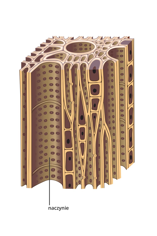Ilustracja przedstawia jasnobrązowe długie komórki. Są one ściśle ułożone. Niektóre są mniejsze izawierają jądro. Inne, zwane naczyniami wścianach mają liczne, małe otworki. Ta tkanka przewodzi wodę. Jest to drewno.