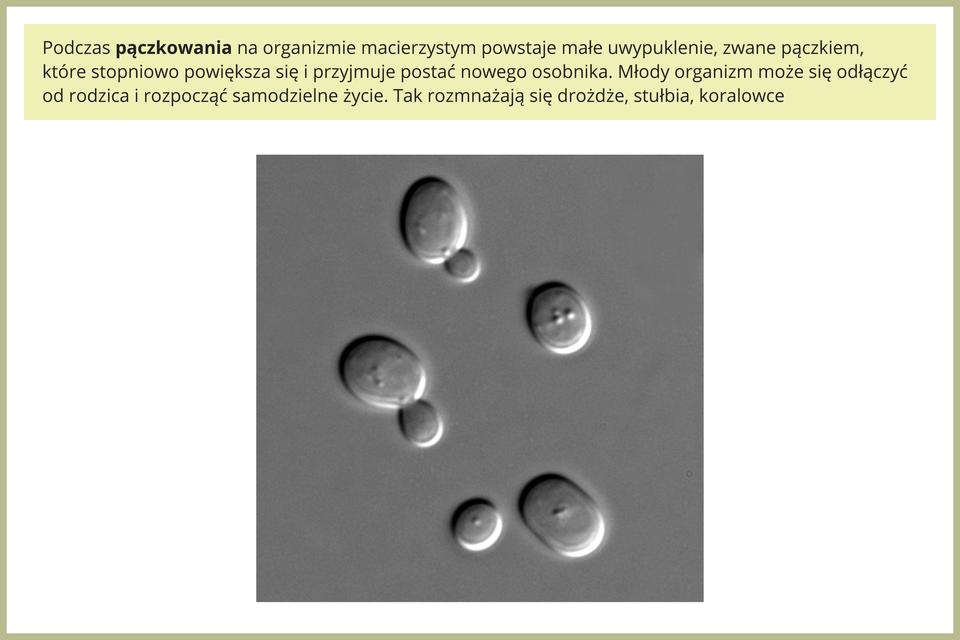 Fotografia przedstawia komórki drożdży pod mikroskopem wtrakcie rozmnażania przez pączkowanie. Dwie znich mają niewielkie uwypuklenie udołu komórki, czyli pączek. Na dole znajduje się większa komórka macierzysta iobok niej mała komórka potomna.
