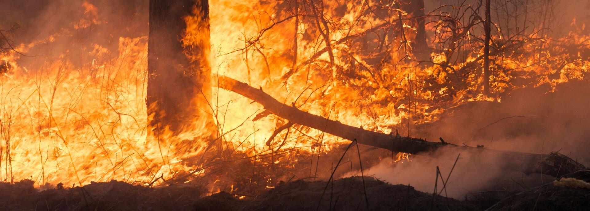 Kolorowe zdjęcie przedstawia płonący las. Na pierwszym planie stojący, płonący pień drzewa , zwalona gałąź, ogień idym. Wtle płonące mniejsze drzewa.