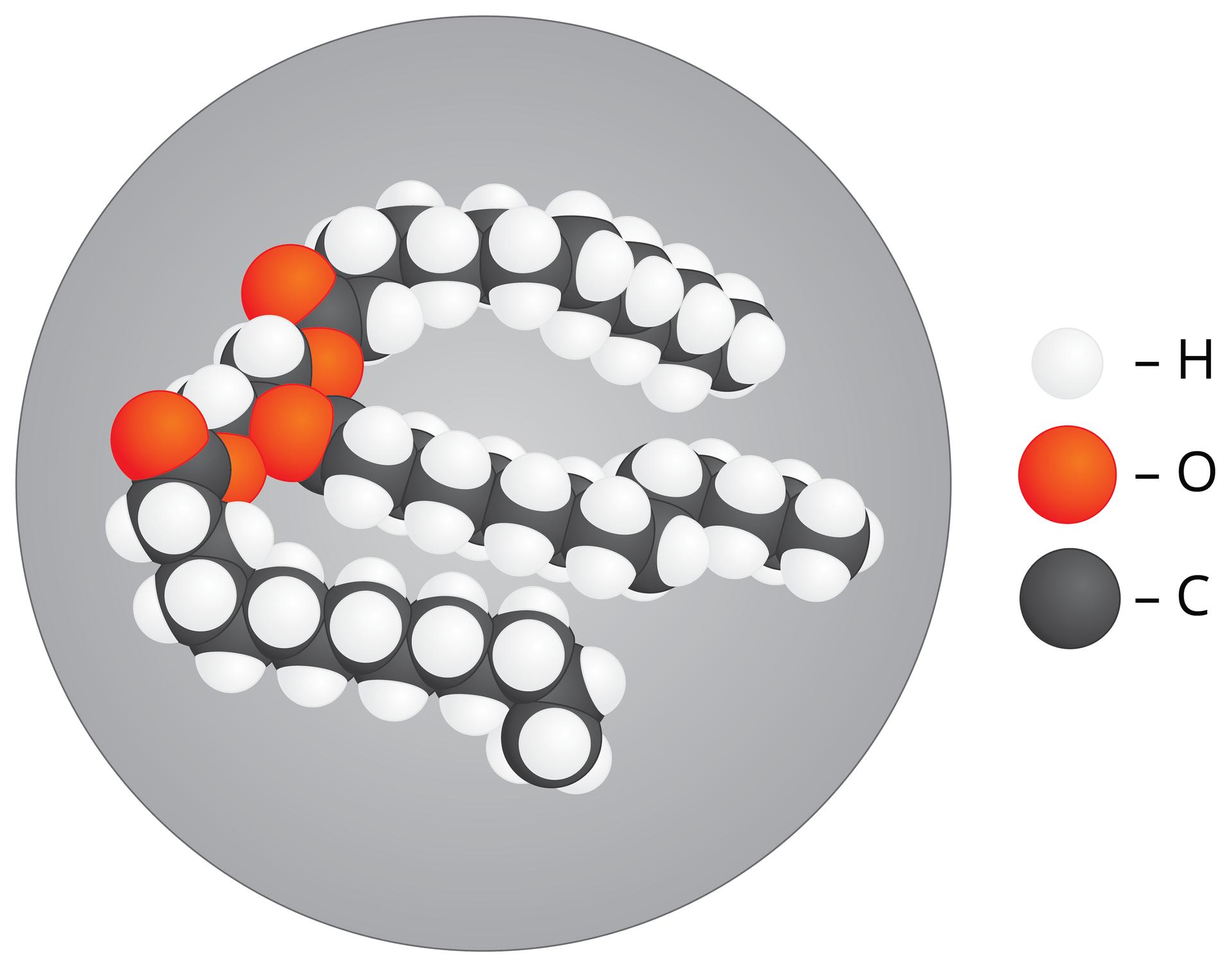 Ilustracja przedstawia model cząsteczki tłuszczu. Cząsteczka tłuszczu ma kształt trzech niemal równoległych długich walców zbudowanych zcząsteczek węgla. Na nich leżą liczne białe kulki wodoru inieliczne czerwone kulki tlenu