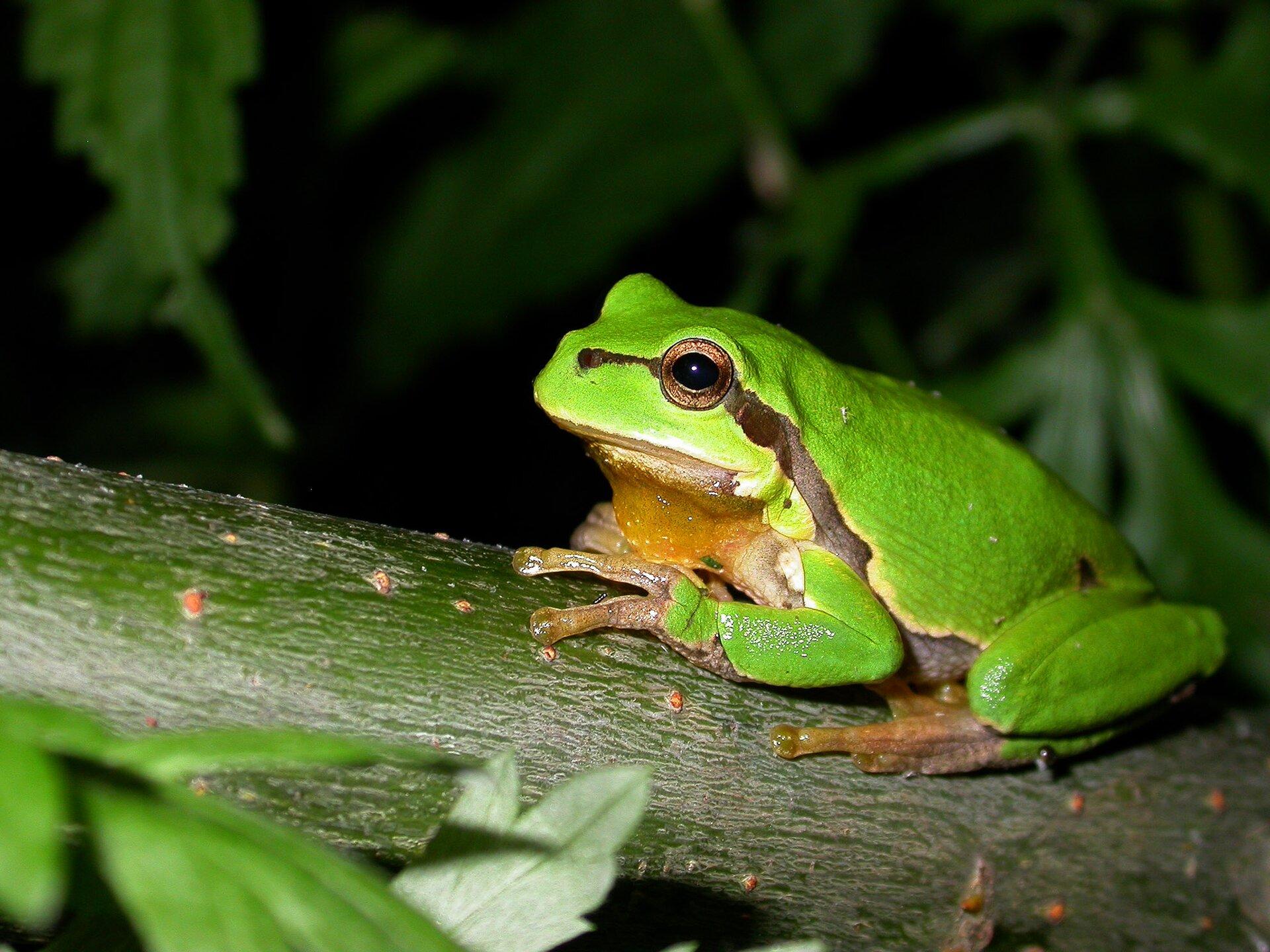 Fotografia przedstawia wzbliżeniu zieloną rzekotkę drzewną, siedzącą na gałęzi. Na końcach palców ma nieduże zgrubienia. Przez oko, szyję aż na brzuch sięga brązowa plama.