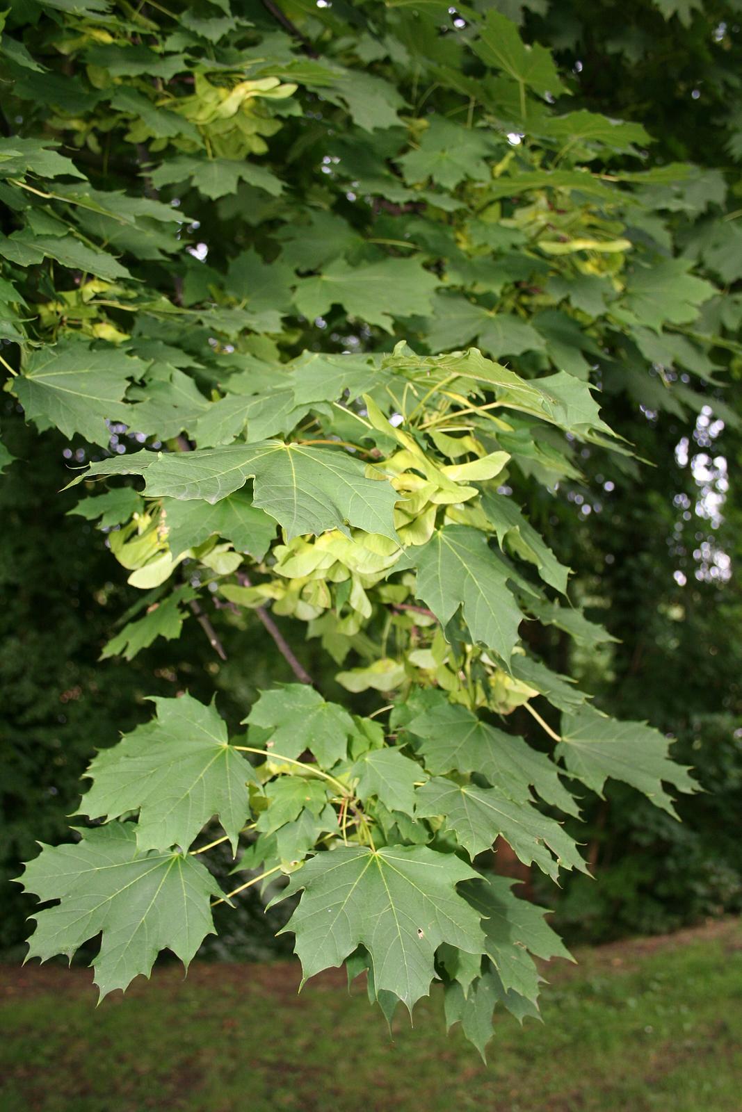 Zdjęcie liści oraz owoców klonu. Liście mają kształt dłoni, mają szerokie wcięcia. Owoc klonu ma postać skrzydełka.
