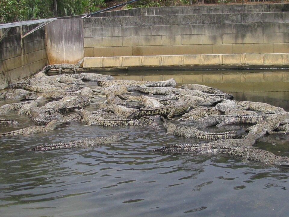 Na zdjęciu krokodyle wwodzie. Leżą gęsto jeden na drugim. Zbiornik wodny ma murowane wysokie brzegi.