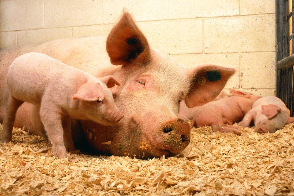 Fotografia przedstawiająca dorosłą świnię zczterema młodymi.