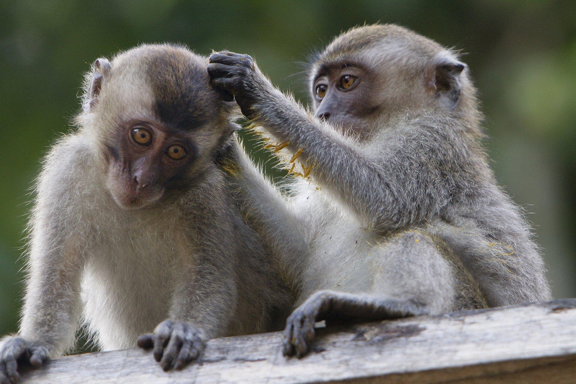 Fotografia przedstawia dwie małpki, siedzące na belce wklatce. Są beżowe, zjasno brązowymi oczami. Ta zlewej pochyla głowę wstronę drugiej, która przednimi łapkami przegląda jej sierść wposzukiwaniu pasożytów.