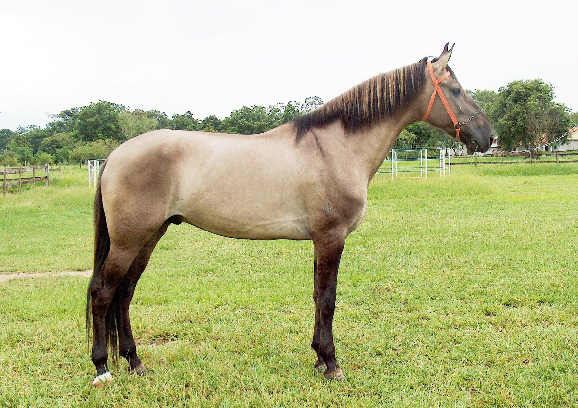 Koń bułany Koń bułany Źródło: Amazona01, licencja: CC BY-SA 3.0.
