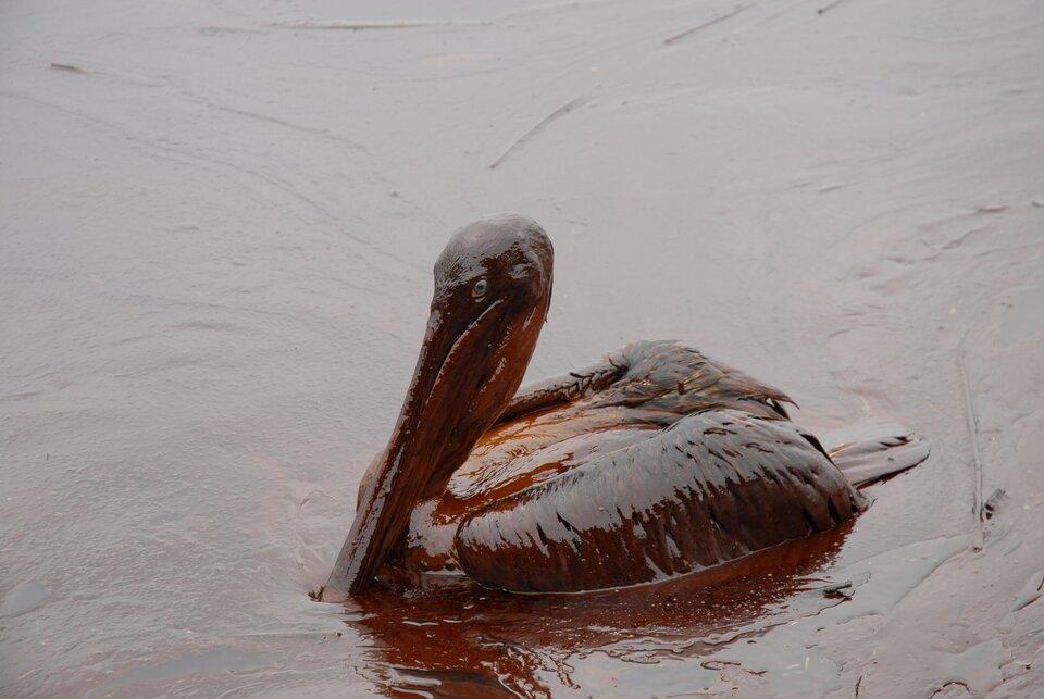 Na zdjęciu ptak, pelikan, pokryty mazistą brązową substancją. Ptak pływa po wodzie, która również pokryta jest tą substancją.
