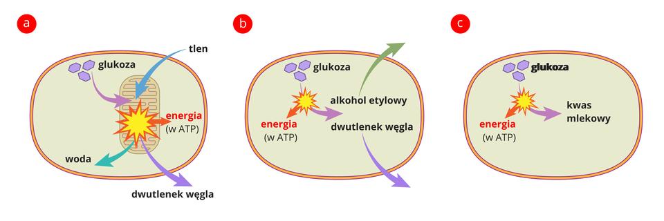 Ilustracja przedstawia 3 komórki oznaczone literami A, B, C. Komórka A- glukoza rozkłada sie do wody idwutlenku węgla. Komórka B- glukoza rozkłada sie do dwutlenku węgla ialkoholu. C- glukoza rozkłada sie do kwasu mlekowego. Wkażdej komórce uwalniana jest energia.