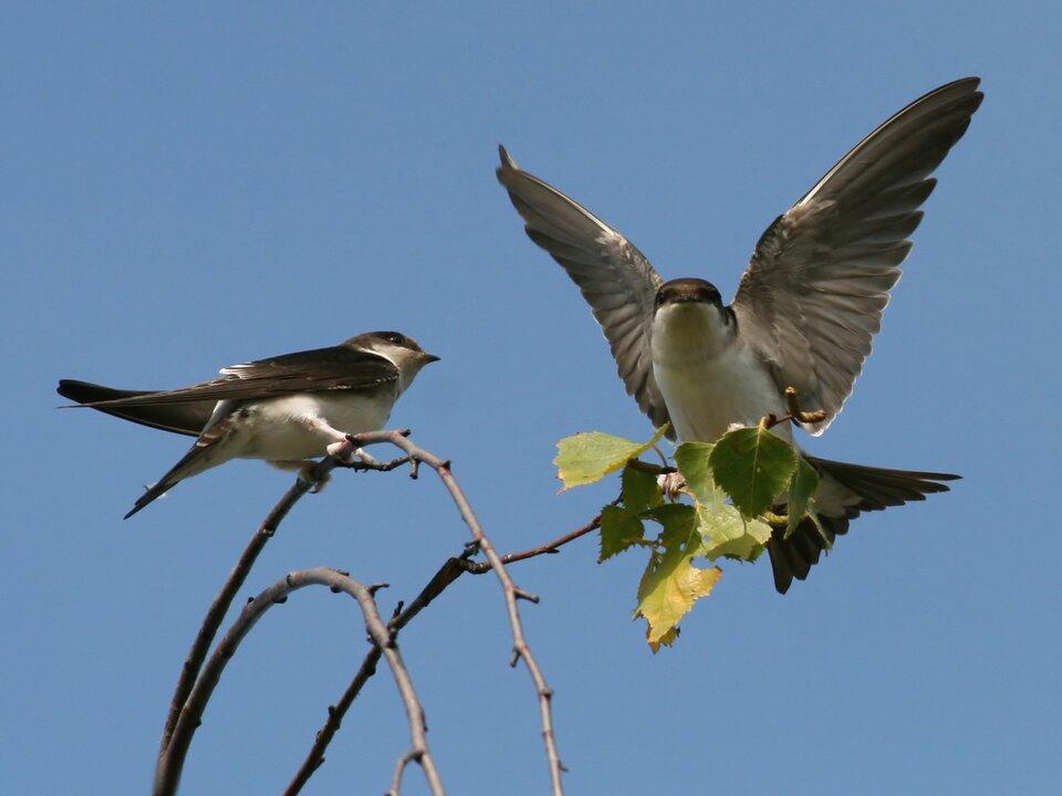 Zdjęcie przedstawia jaskółkę oknówkę. Ptak ma czarny wierzch głowy, grzbiet iskrzydła. Brzuch, kuper idolna część głowy są białe. Skrzydła są wąskie, sierpowate iwygięte do tyłu.