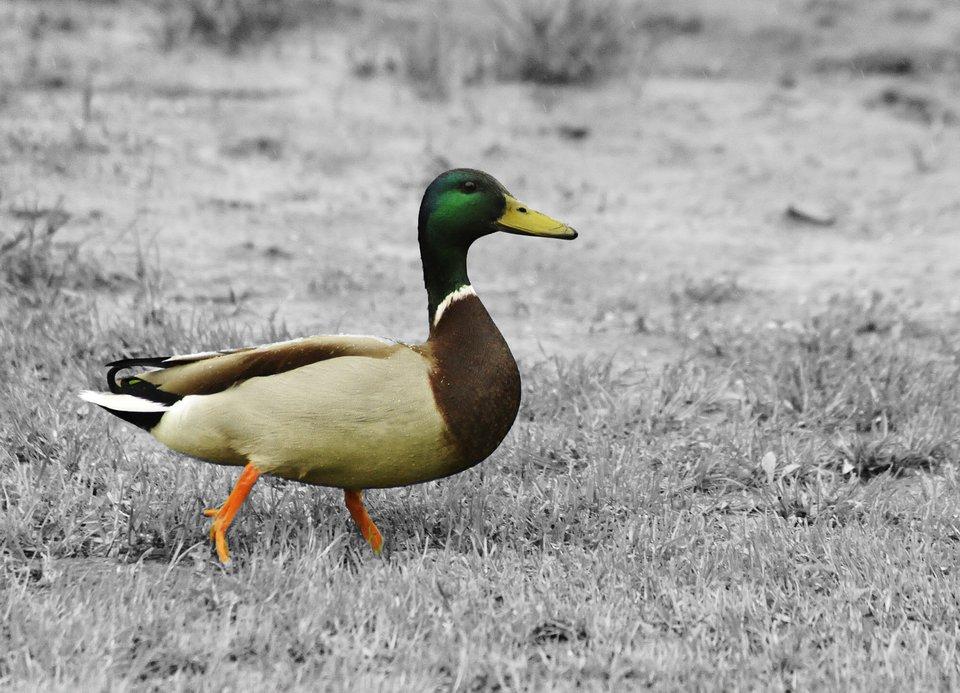 Fotografia przedstawiająca kaczkę na szarym tle