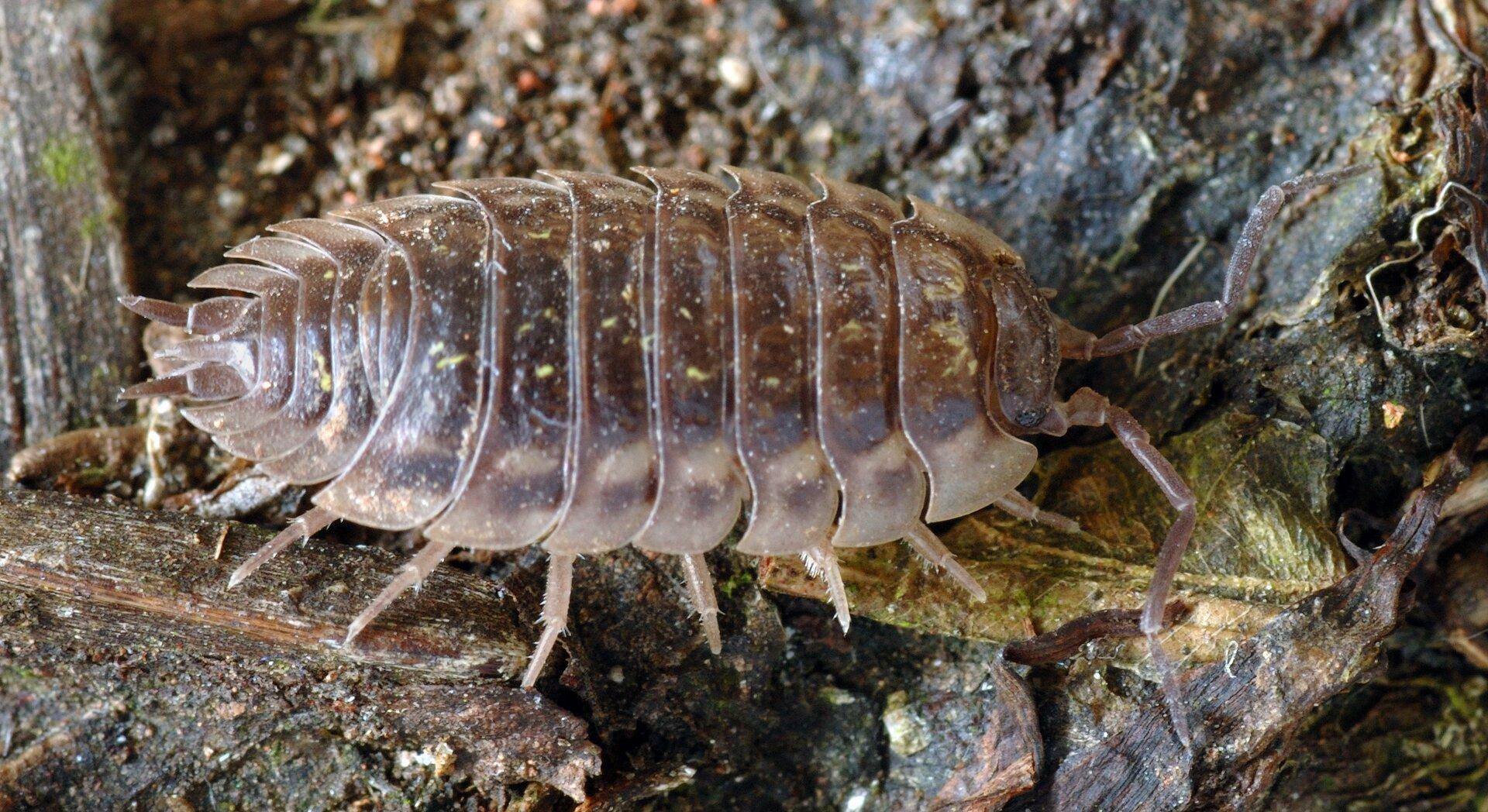 Fotografia wdużym zbliżeniu przedstawia zgóry szarobrązową stonogę. Zwierzę znajduje się na szczątkach drewna. Część głowowa zdługimi czułkami skierowana wprawo. Ciało owalne, zwyraźnymi, mniej więcej jednakowymi segmentami.