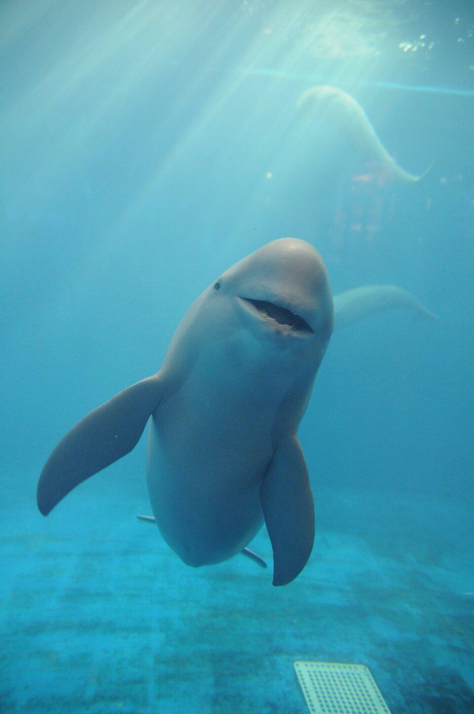 Fotografia podwodna przedstawia od przodu płynącego morświna wbasenie. Ztyłu znajdują się jeszcze dwa beżowe morświny.