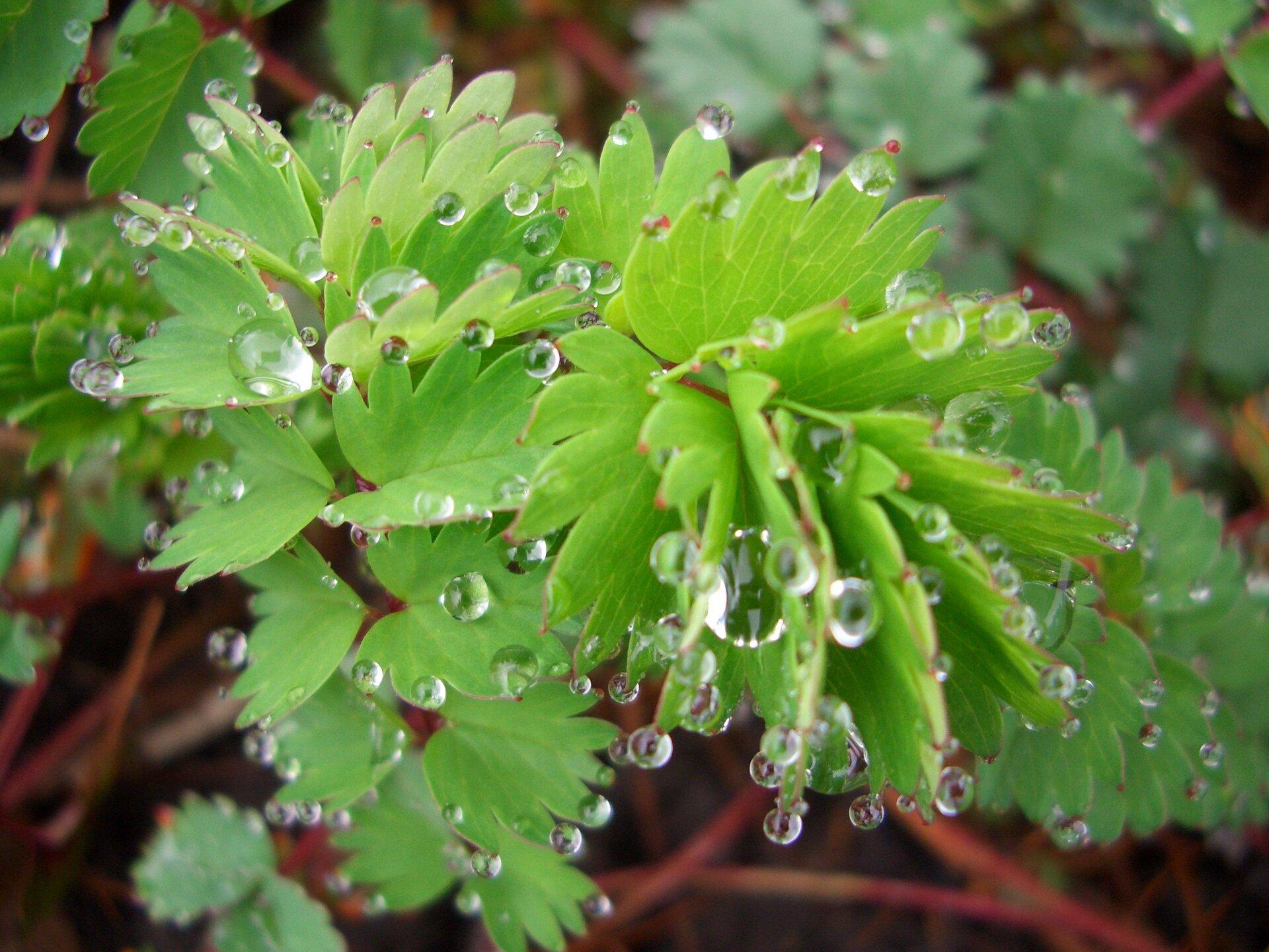 Fotografia przedstawia jasnozielone liście na cienkich, czerwonawych łodygach. Na krawędzi blaszki liściowej zebrały się liczne małe krople wody. Roślina wydziela nadmiar wody.