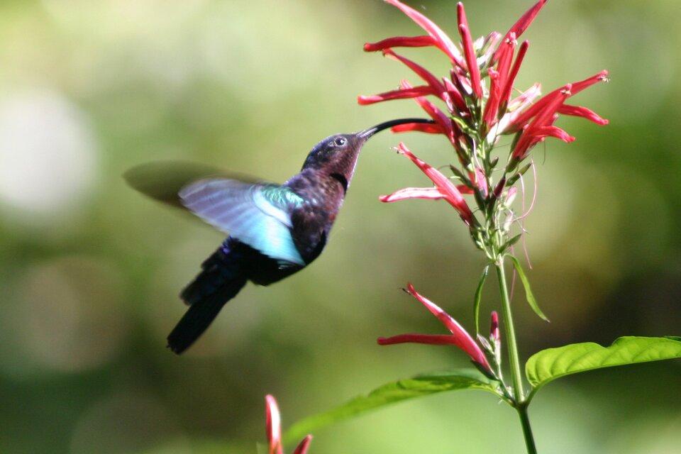 Zdjęcie przedstawia małego kolibra. Ptak zapyla kwiaty wlocie. Wśrodkowej części zdjęcia czarny koliber wlocie. Głowa ptaka skierowana wprawo. Skrzydła wruchu. Długi dziób kolibra zakrzywiony łukowato. Kształt dzioba umożliwia sięganie do nektaru wkwiatach. Po prawej stronie zdjęcia różowe drobne rurkowate kwiaty na zielonej łodydze. Wjednym zkwiatów znajduje się koniec dzioba kolibra.
