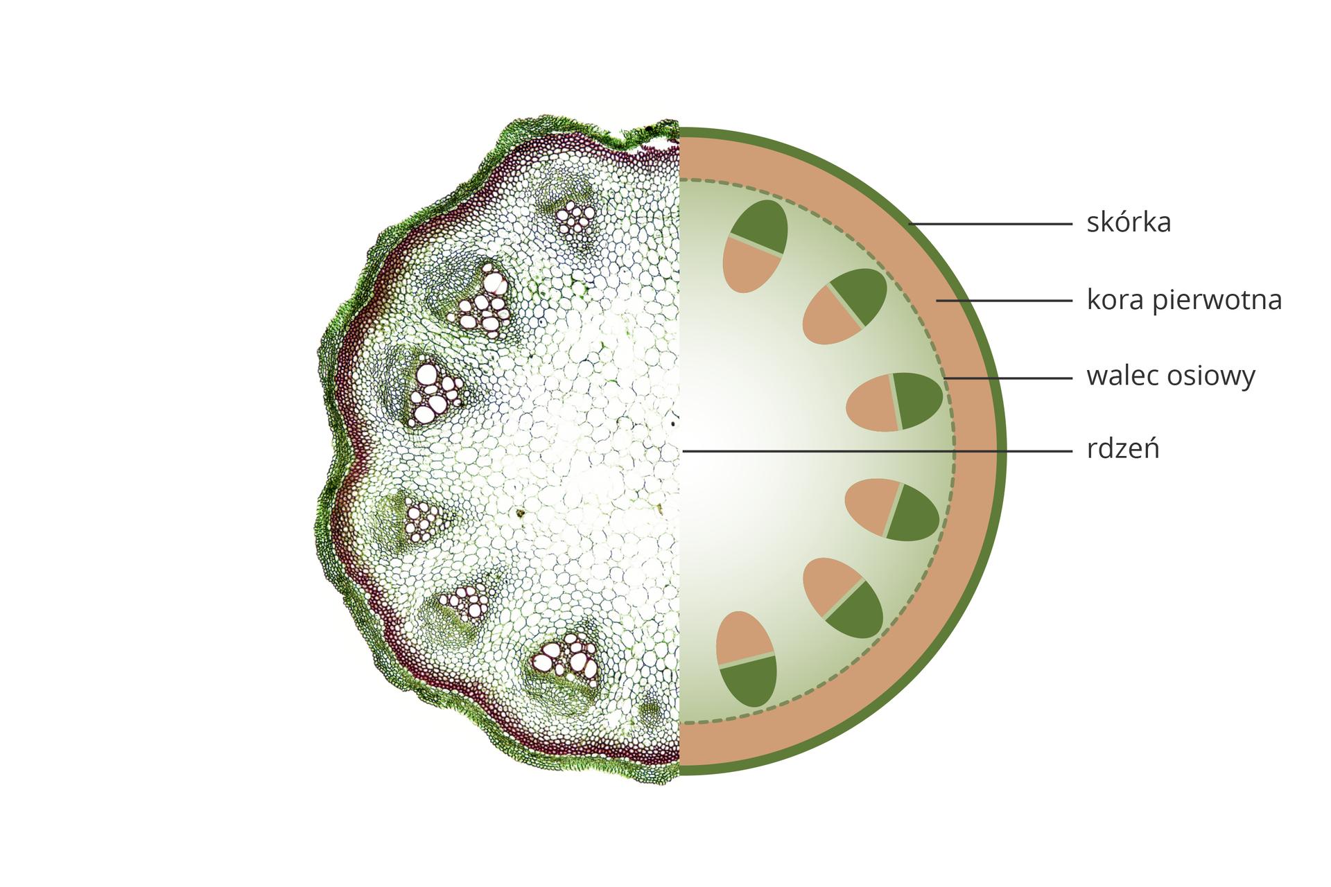 Ilustracja przedstawia rysunek schematyczny przekroju przez łodygę rośliny jednoliściennej. Tkanki oznaczono różnymi kolorami ipodpisano.