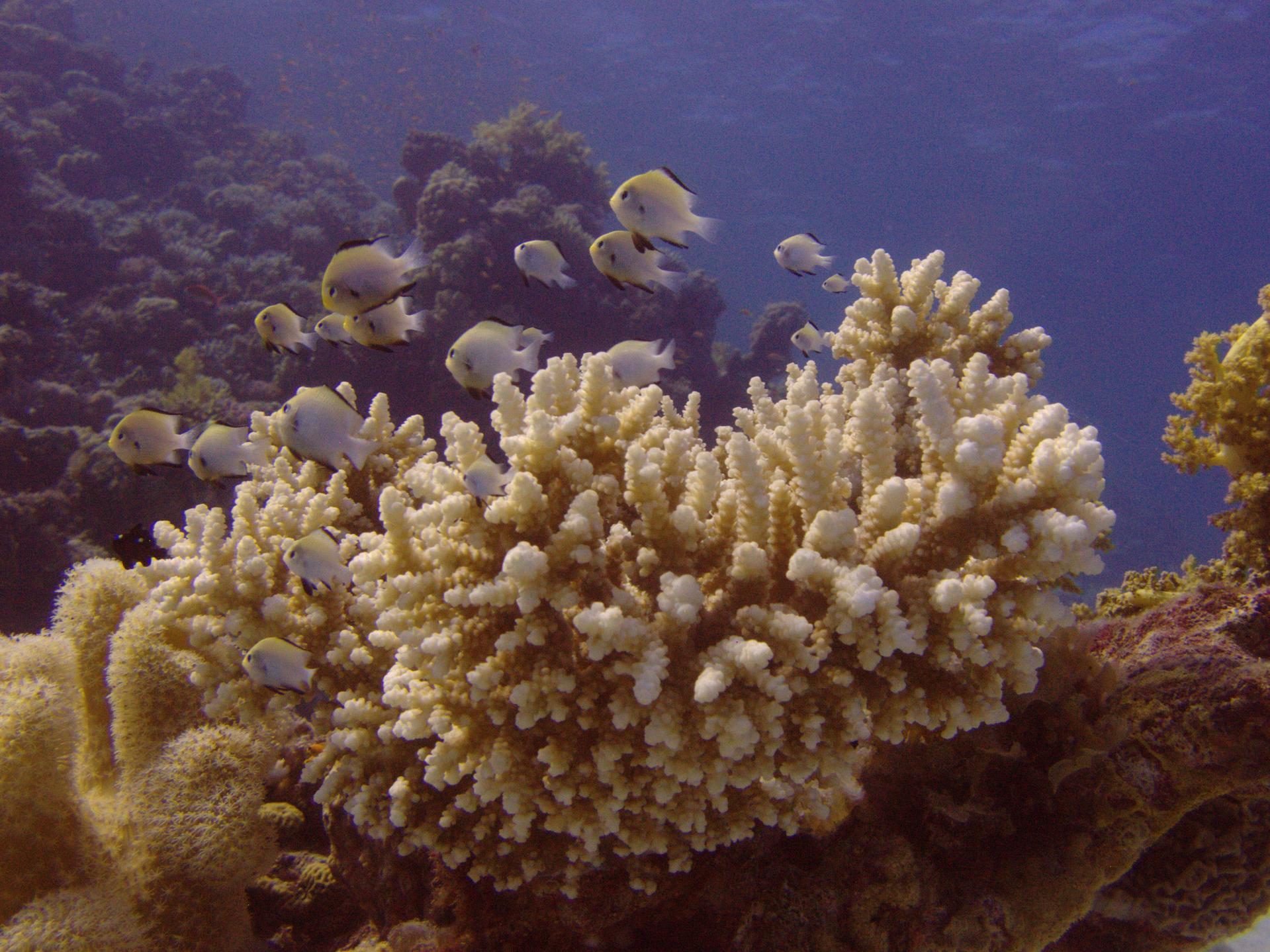 Wgalerii znajdują się fotografie przedstawiające bogactwo życia na rafie koralowej. Fotografia przedstawia zbliżenie kolonii korala madreporowego wmorzu. Jest beżowo – biały, mocno rozgałęziony. Obok znajdują się inne koralowce. Korale madreporowe tworzą rafę. Na nim pływa stadko białawych rybek zczarnymi płetwami.