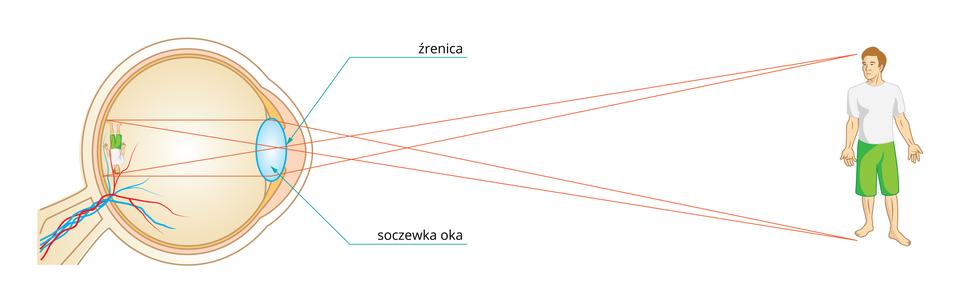 Ilustracja pokazuje wjaki sposób promienie świetlne odbite od sylwetki człowieka, przechodzą przez źrenicę isoczewkę. Następnie załamują się za soczewką, tworząc na siatkówce obraz pomniejszony iodwrócony