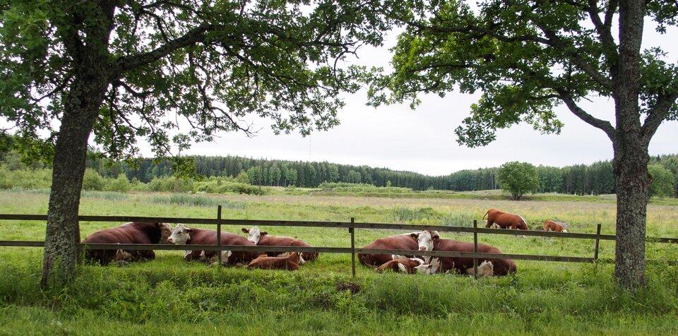 Ilustracja przedstawia krowy rasy mięsnej na przestronnym pastwisku. Daleko wtle las.