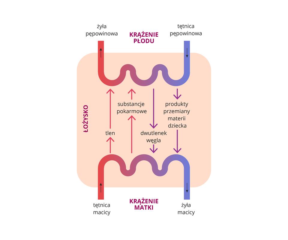 Ilustracja przedstawia wymianę między krwią dziecka akrwią matki. Ugóry schemat krążenia płodu, udołu schemat krążenia matki. Różowy prostokąt oznacza łożysko. Naczynia krwionośne matki idziecka nie łączą się. Czerwone strzałki po lewej stronie: krew matki dostarcza płodowi tlen iskładniki odżywcze. Fioletowe strzałki po prawej stronie: płód oddaje dwutlenek węgla iprodukty przemiany materii.