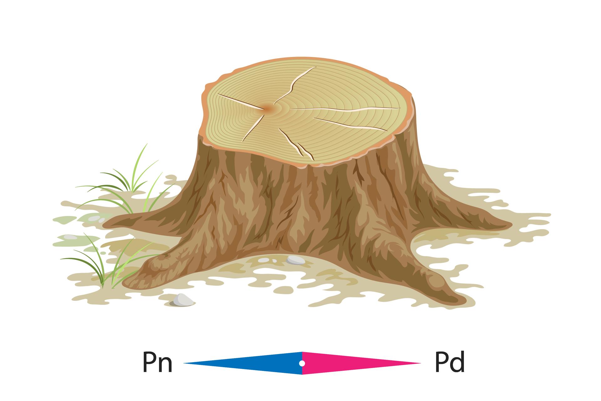 Na ilustracji pokazano pień ściętego drzewa, którego słoje są szersze od strony południowej niż od północy.
