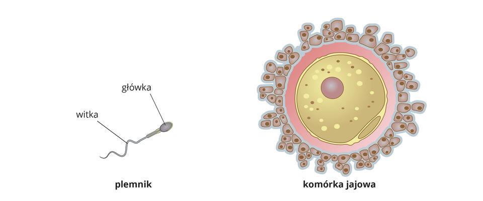 Ilustracja przedstawia plemnik zbudowany zgłówki iwitki. Obok jest duża kulista komórka jajowa zdobrze widocznym jądrem komórkowym. Komórka jajowa otoczona jest wieńcem małych komórek.