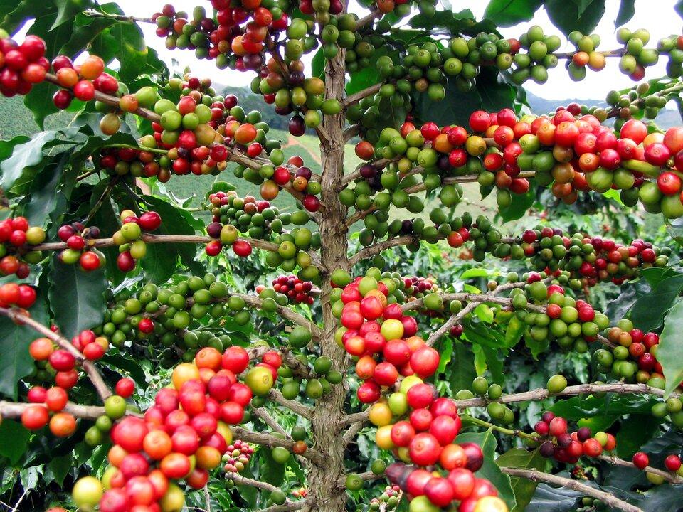Krzewy kawowca na plantacji kawy