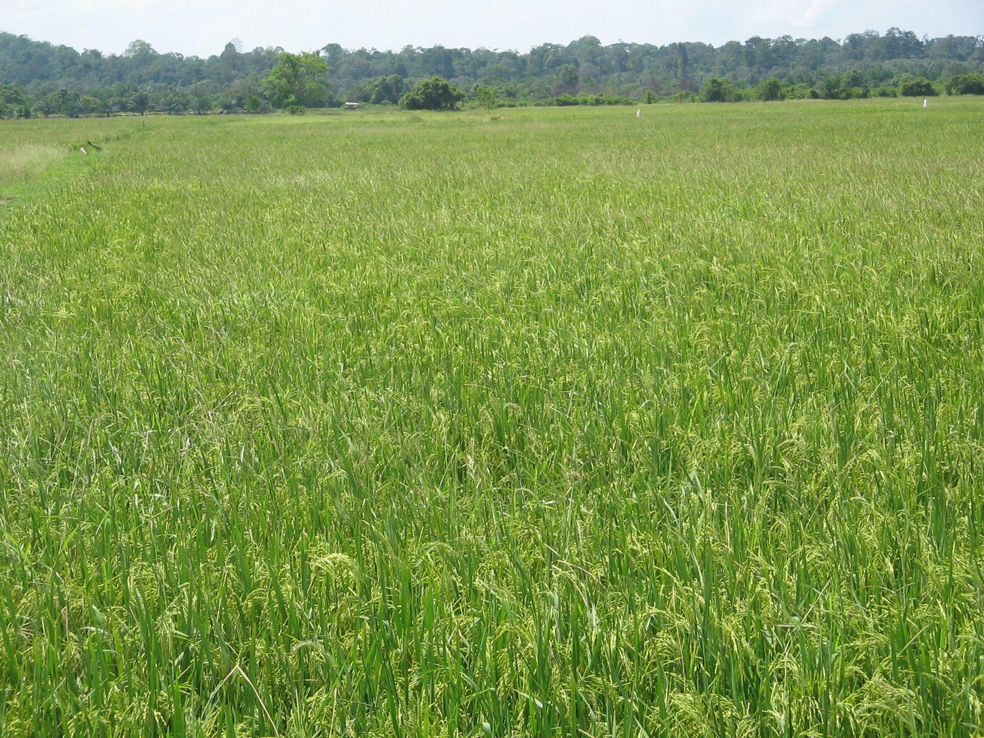 Na zdjęciu pole ryżowe.