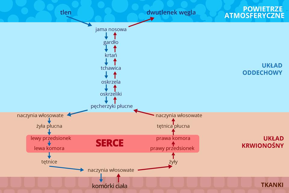 Ilustracja przedstawia schematycznie drogę tlenu (niebieskie strzałki) idwutlenku węgla (czerwone strzałki). Ugóry szafirowy pasek zbąbelkami znapisem: powietrze atmosferyczne. Niżej błękitny pasek znapisem: układ oddechowy. Kolejny różowy pasek znapisem: układ krwionośny. Najniżej liliowy pasek zbryłkami znapisem: komórki ciała. Na pasku układu krwionośnego różowy prostokąt zczerwonym napisem: serce. Tlen zpowietrza przechodzi przez jamę nosową, gardło, krtań, tchawicę, oskrzela, oskrzeliki ipęcherzyki płucne do naczyń włosowatych. Stąd żyłą płucną do lewego przedsionka ilewej komory serca, do tętnic, naczyń włosowatych ikomórek ciała. Dwutlenek węgla przebywa tę samą drogę wodwrotnym kierunku. Jedynie wsercu płynie przez prawą, anie lewą część.