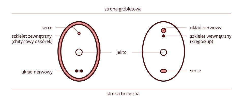 Ilustracja przedstawia dwa pionowe owale kolorach: brązowym iróżowym zopisami. Ugóry napis: strona grzbietowa, udołu: strona brzuszna. Owal zlewej to schemat przekroju przez ciało owada. Pogrubiony brzeg oznacza oskórek. Od góry kółeczka symbolizujące: serce, jelito iukład nerwowy. Po prawej przekrój przez ciało ryby. Kółeczka od góry symbolizują: układ nerwowy, szkielet (kręgosłup), jelito, serce.